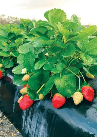 Florida_Strawberries-1.jpg