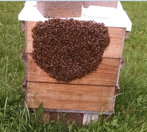 Honeybee swarm of side of nuc box.