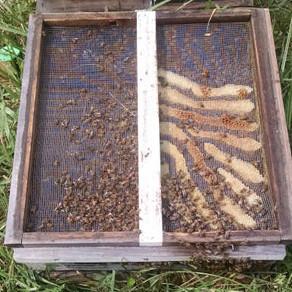 Hive salvage