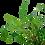 Thumbnail: Hygrophila corymbosa 'Siamensis 53B'
