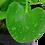 Thumbnail: Nymphoides hydrophylla 'Taiwan'