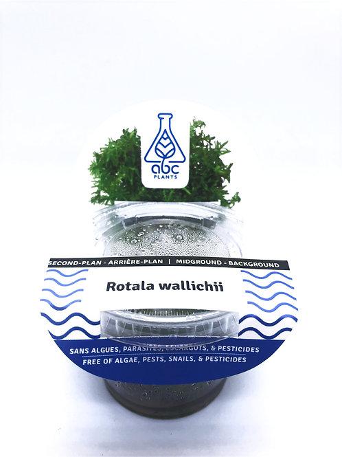 Rotala wallichii