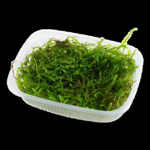 Taxiphyllum barbieri Tray