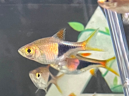 Harlequin Rasbora Schooling Group of 6