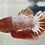 Thumbnail: HM Star Tail Betta Regular Grade