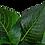 Thumbnail: Hygrophila corymbosa 'Compact'