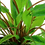 Thumbnail: Cryptocoryne wendtii Tropica