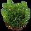 Thumbnail: Marsilea crenata