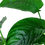 Thumbnail: Anubias barteri var. caladiifolia Mother Plant