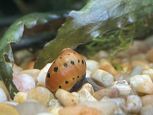 Tire track nerite snail