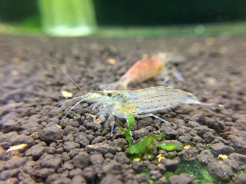 Amano Shrimp (Caridina multidentata)