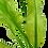 Thumbnail: Aponogeton ulvaceus
