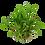 Thumbnail: Cryptocoryne wendtii 'Green