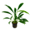 Thumbnail: Anubias barteri var. angustifolia
