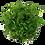 Thumbnail: Ranunculus inundatus