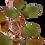 Thumbnail: Ludwigia palustris