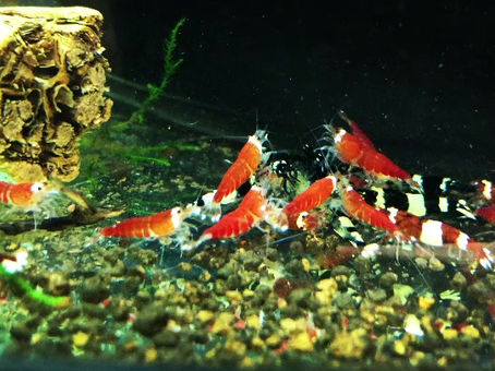 Caridina shrimp types