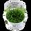 Thumbnail: Helanthium tenellum 'Green'