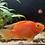Thumbnail: Pumpkin Parrot fish