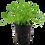Thumbnail: Lilaeopsis brasiliensis