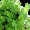 Thumbnail: Hydrocotyle tripartita