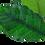 Thumbnail: Anubias barteri 'Coffeifolia'