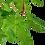 Thumbnail: Nesaea crassicaulis