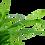 Thumbnail: Sagittaria subulata