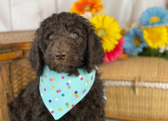 SOLD Dewey- red collar male labradoodle