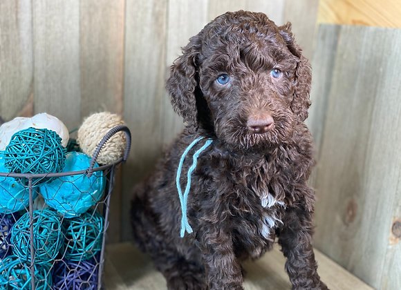 *SOLD - Aquarius - thin aqua collar female labradoodle