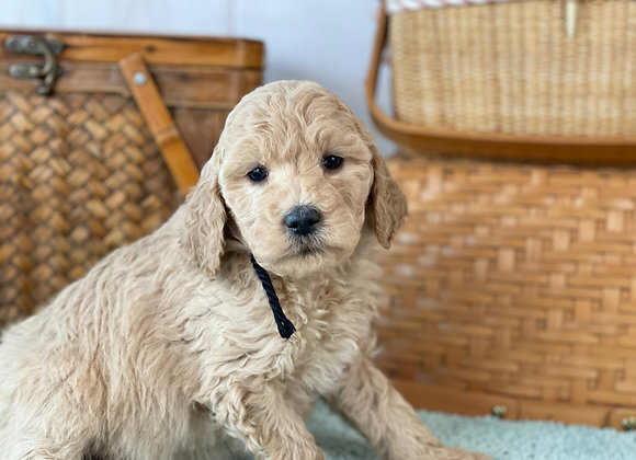 SOLD Aster- Black Collar male -  Miniature English Goldendoodle