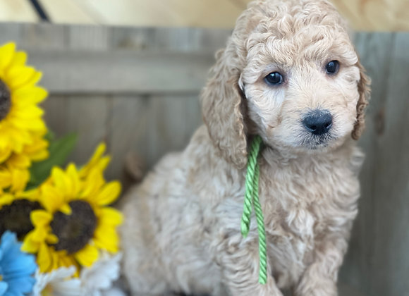 SOLD Blossom - Lime Green female - miniature English Goldendoodle