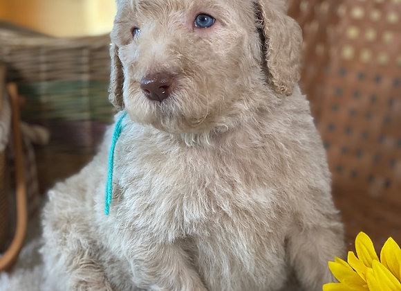 *SOLD - Scorpio - thin light green collar - male labradoodle