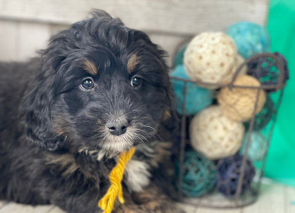 SOLD - Cole- Yellow collar male F1 Miniature Bernedoodle