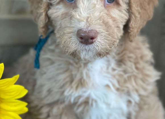 SOLD Juniper - teal collar apricot male labradoodle