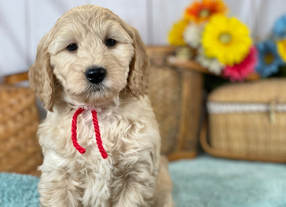SOLD Rowan - red collar male - Miniature English Goldendoodle