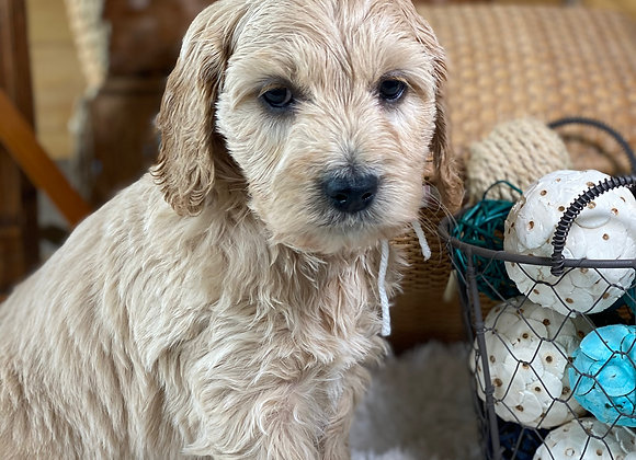 *SOLD - Belle - White collar female- Miniature English Goldendoodle