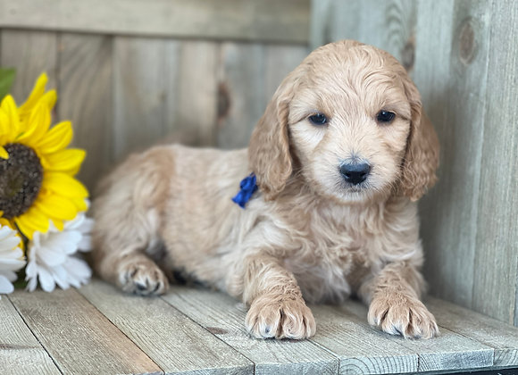 SOLD Rivers - Blue collar male - miniature English Goldendoodle