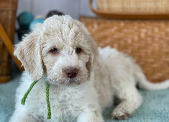SOLD Posey - Cream/parti - Lime green collar female labradoodle