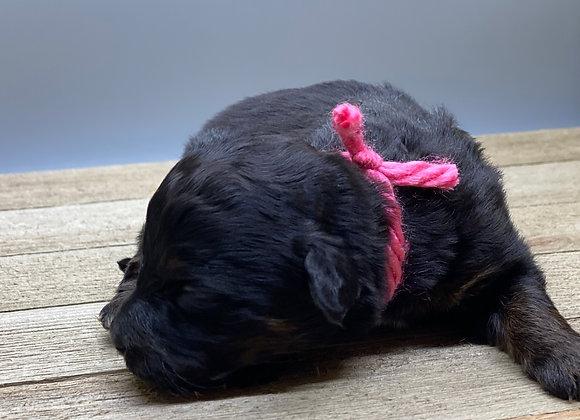 Skye - Pink collar miniature bernedoodle