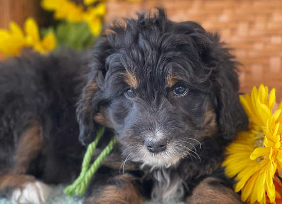 SOLD Clay - Light green collar male F1 Miniature Bernedoodle