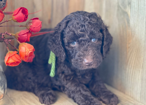 SOLD HUCKLEY -Chase - Chocolate, Male, Green collar miniature labradoodle