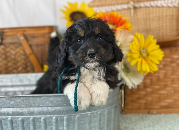 SOLD Lake - Teal collar male F1 Miniature Bernedoodle
