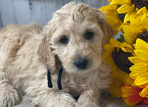*SOLD - Diva - Black Collar female -  Miniature English Goldendoodle