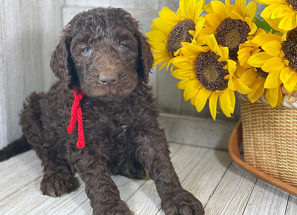 *SOLD - Leo- red collar male labradoodle