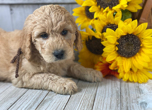 *SOLD - Charlie - Brown collar male - Miniature English Goldendoodle