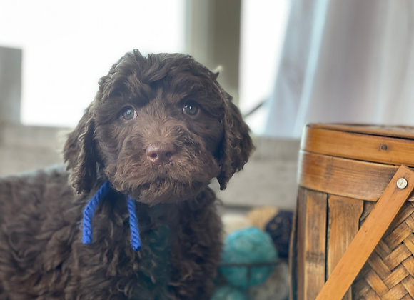 SOLD Rosa - blue collar chocolate female labradoodle