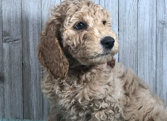 Miniature English Goldendoodle Puppies