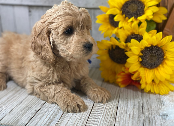 *SOLD -Drake - Blue collar male - miniature English Goldendoodle