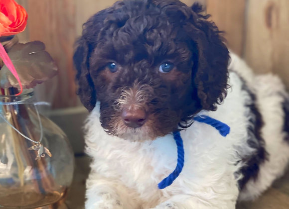SOLD -Marshall - Blue collar, Male, parti color, miniature labradoodle
